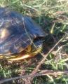 Żółw na kukurydzkę